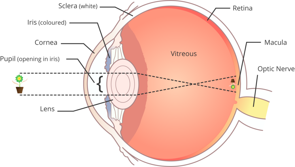 Eye and Retina Diagram